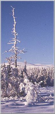Typical spruce forest on the 800 m level